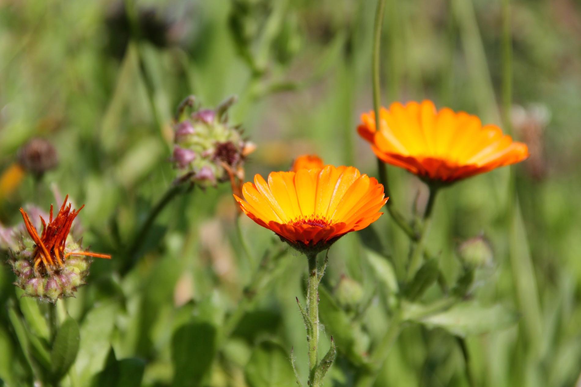 blühende Ringelblumen