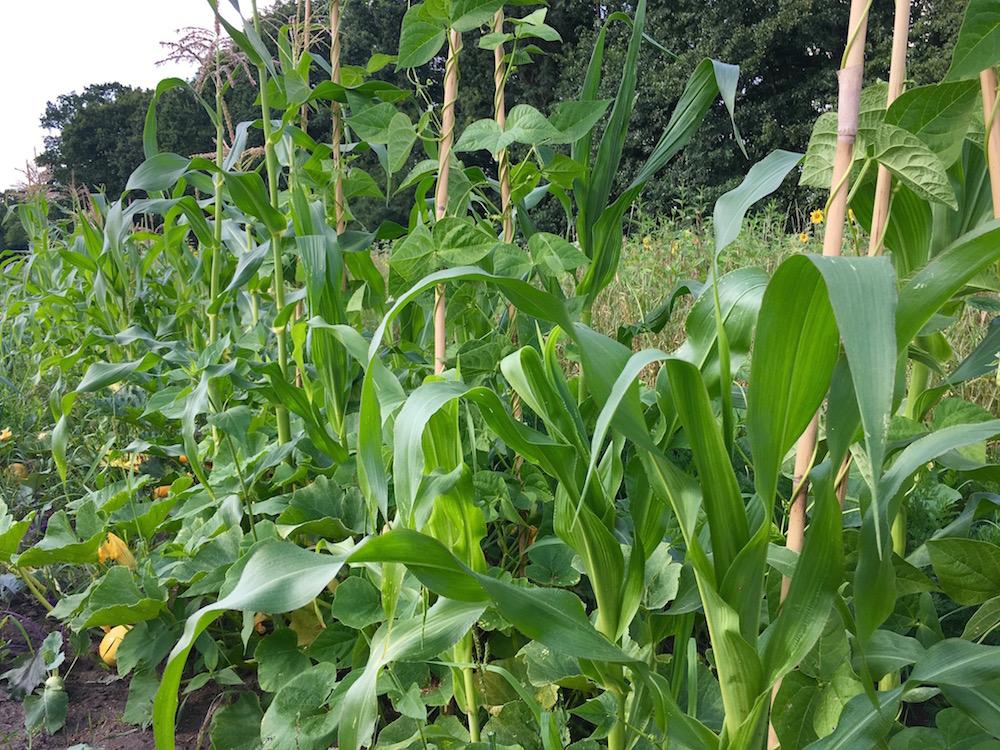 Mais, Stangenbohnen und Kürbis zusammen im Beet