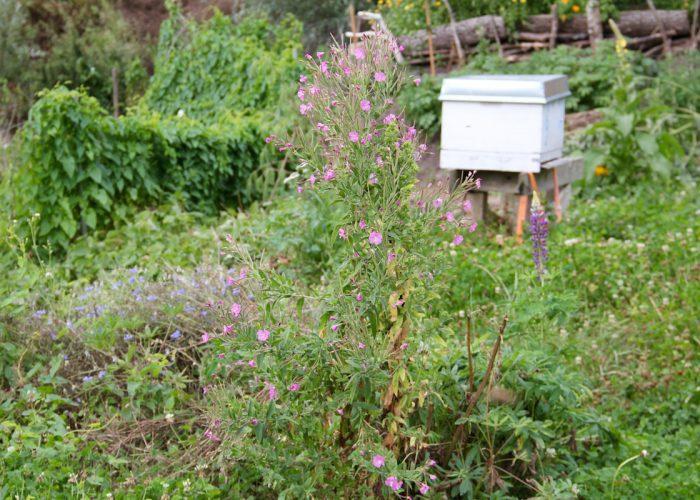 Bienenkiste im Gemuesegarten mit viel blühendem Unkraut