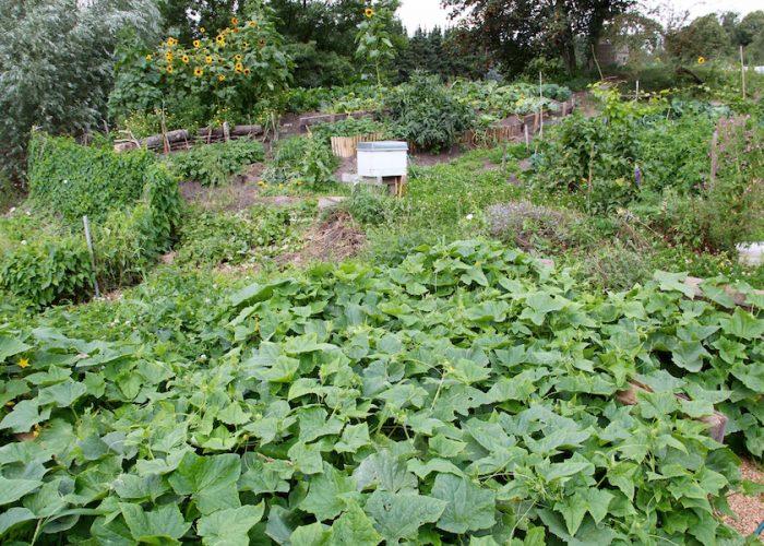 Gurkenpflanzen im Vordergrund, dahinter andere Gemüsesorten und eine Bienenkiste
