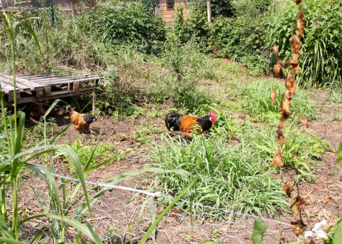 Hühner im Gehege