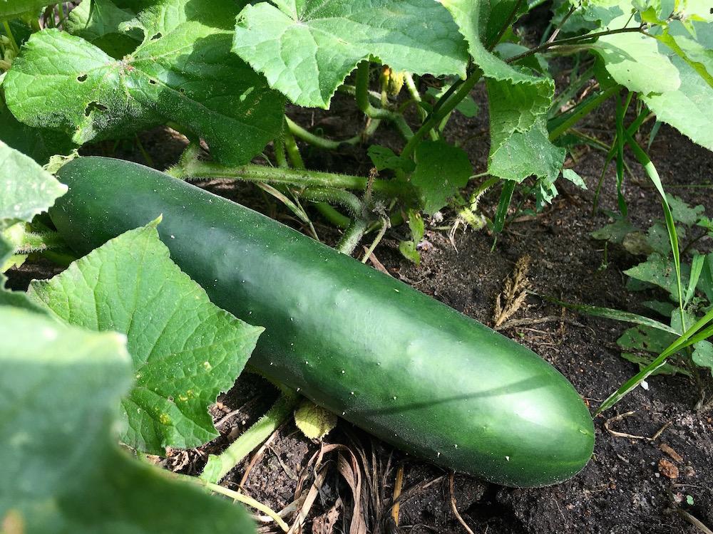 Salatgurke an der Pflanzen im Beet
