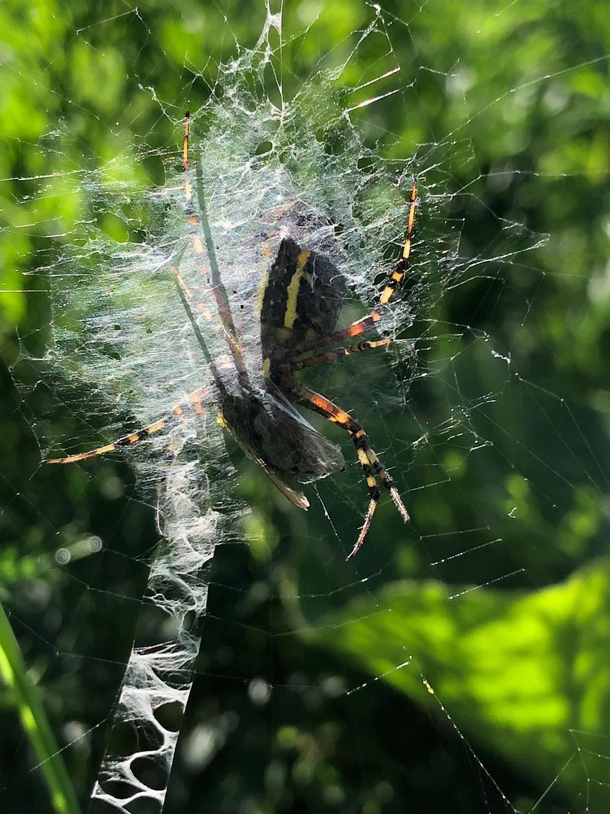 Wespenspinne mit Beute im Netz
