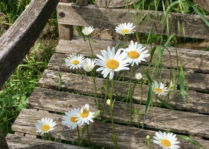 Blühende Margeriten, die durch die Balken einer Gartenbank hindurchwachsen
