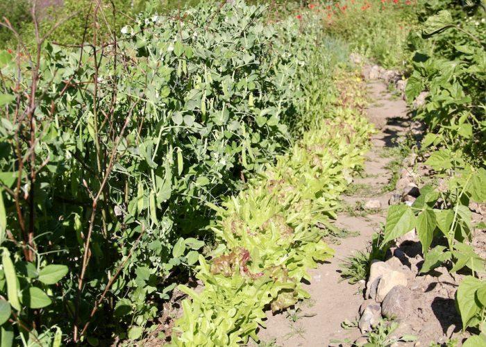Eine Reihe Pflücksalat, links davon Zuckerschoten, rechts ein Weg