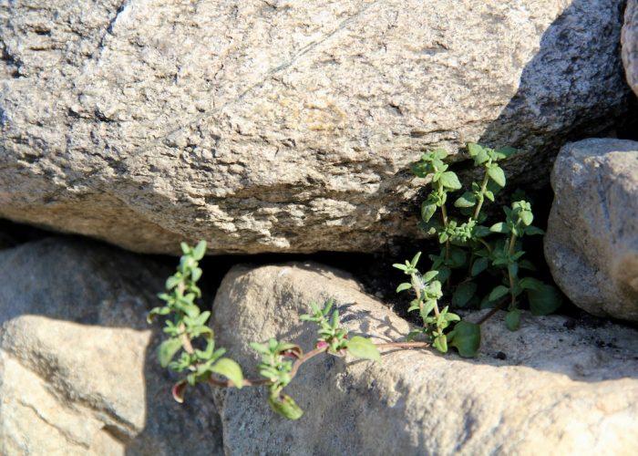 Thymian in der Ritze der Trockenmauer