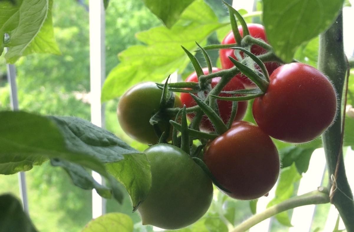 Fast reife Tomaten an der Pflanze