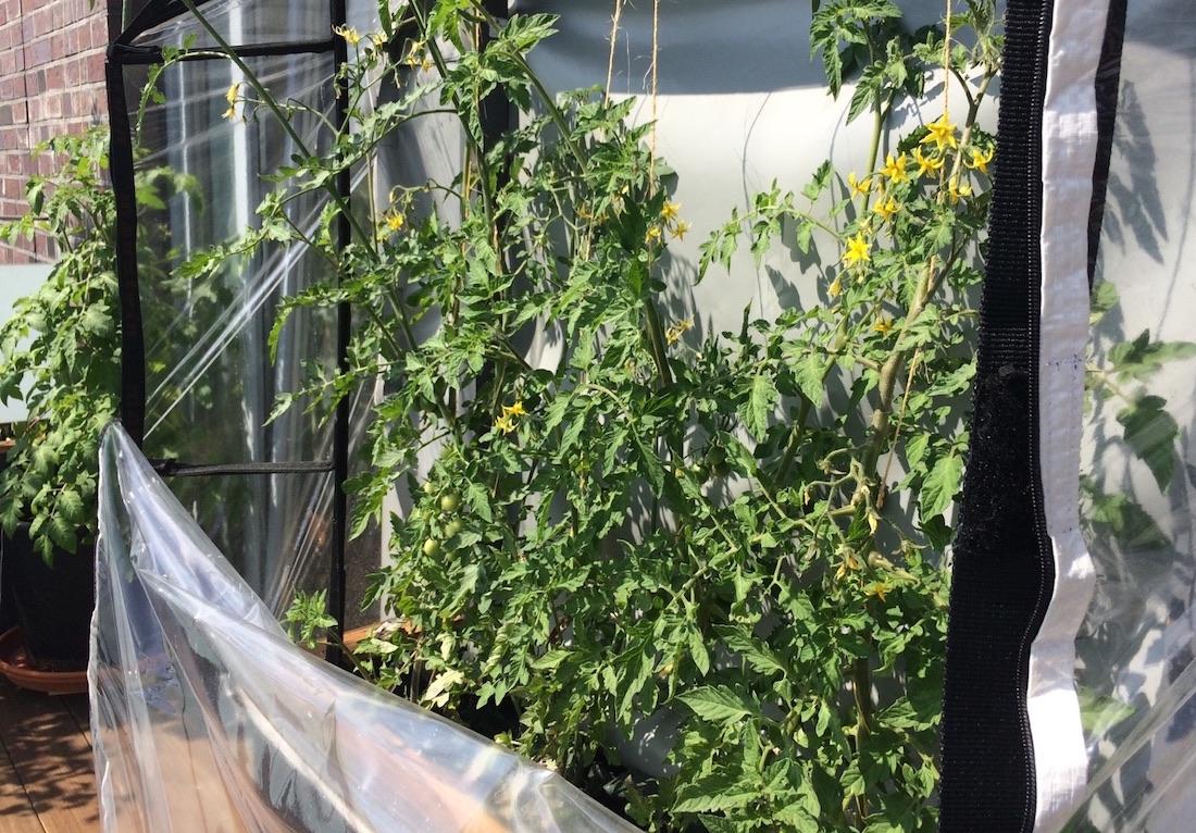 Blühende Tomatenpflanzen in einem Tomatenhaus auf einem Blakon