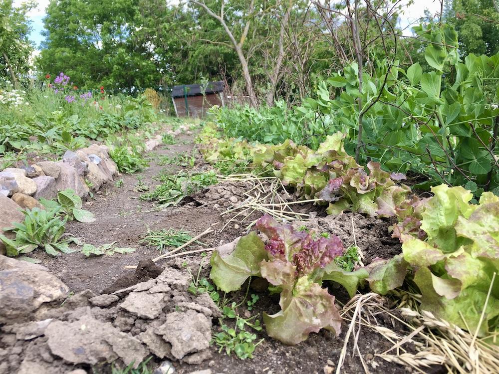 Halb oberirdischer Gang der Wühlmäuse direkt am Salat entlang