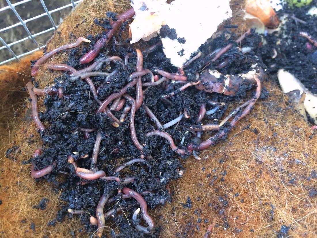 Kompostwürmer in der Wurmkiste