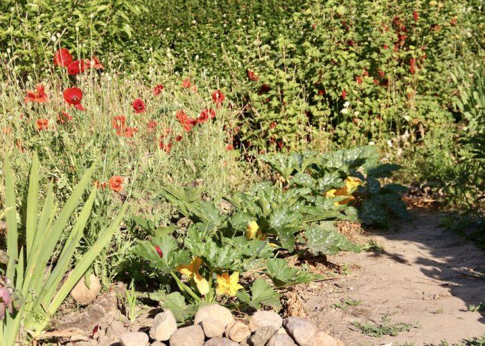 Blühende Zucchinipflanzen neben Mohn und Johannisbeeren