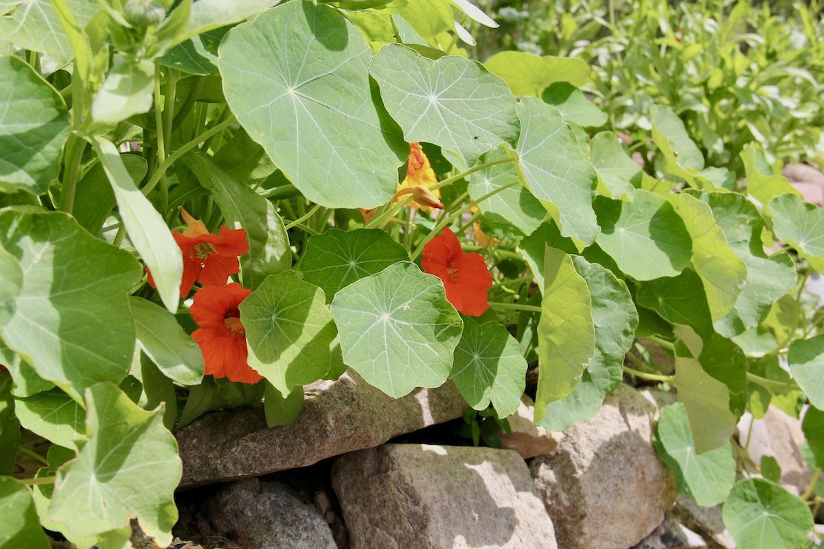 blühenden Kapuzinerkresse im Beet vor einer Trockenmauer