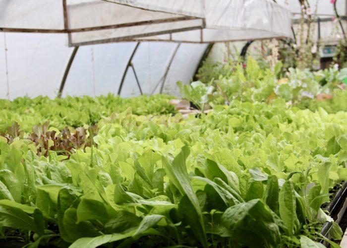 Salate, die in Anzuchttöpfen im Gewächshaus stehen