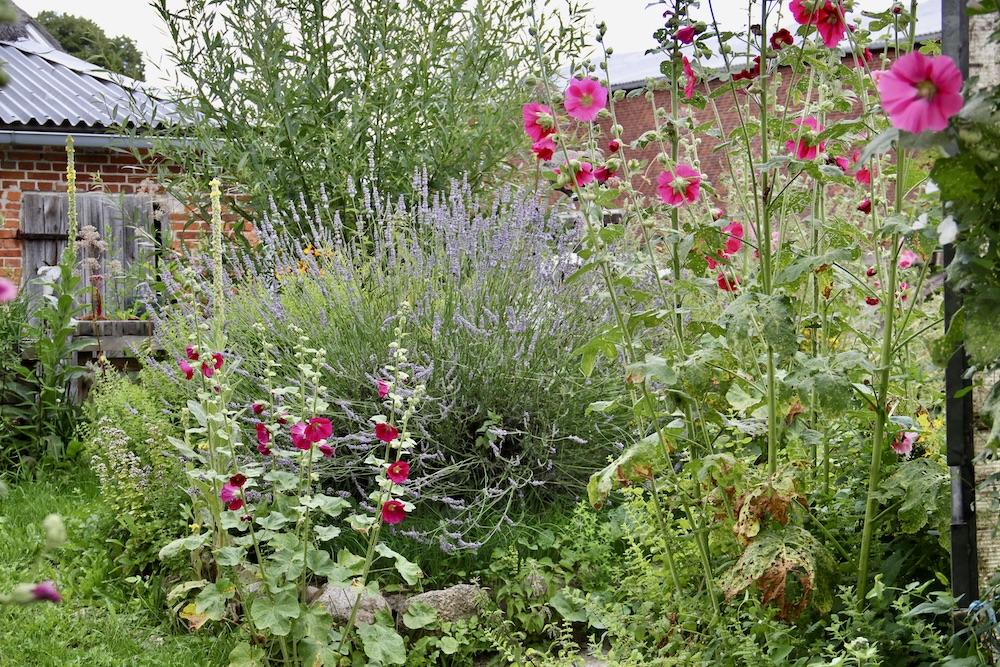 Stockrosen, Lavendel und Königskerzen