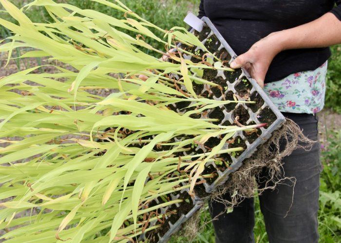 Maispflanzen in Anzuchtbehältern