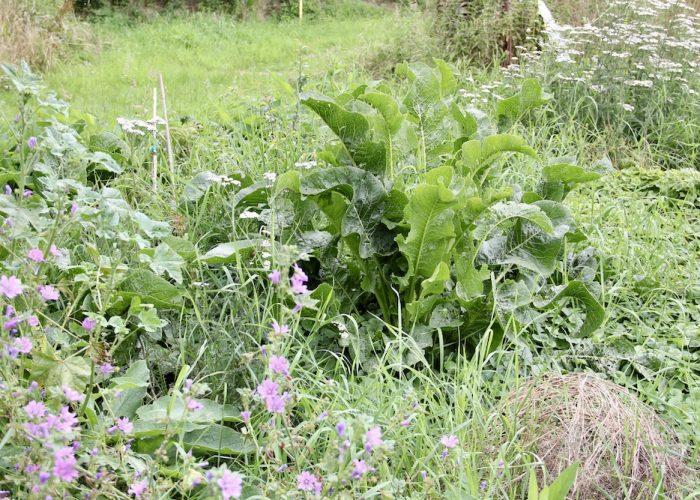 Meerrettich im Waldgartenbeet mit Malven, Schafgarbe und Bodendeckern