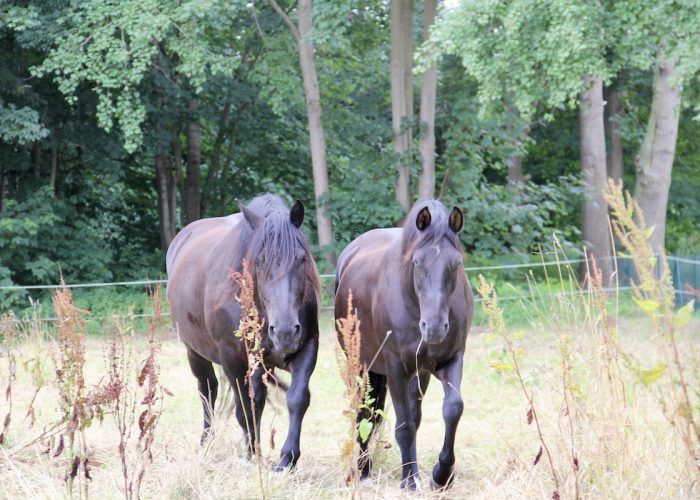 zwei braune Pferde auf einer Koppel