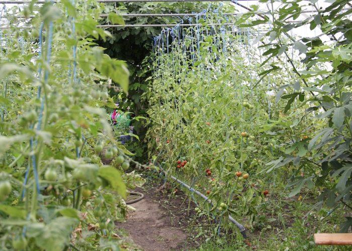 Tomatenpflanzen im Gewächshaus, die an Bändern ihren Halt finden