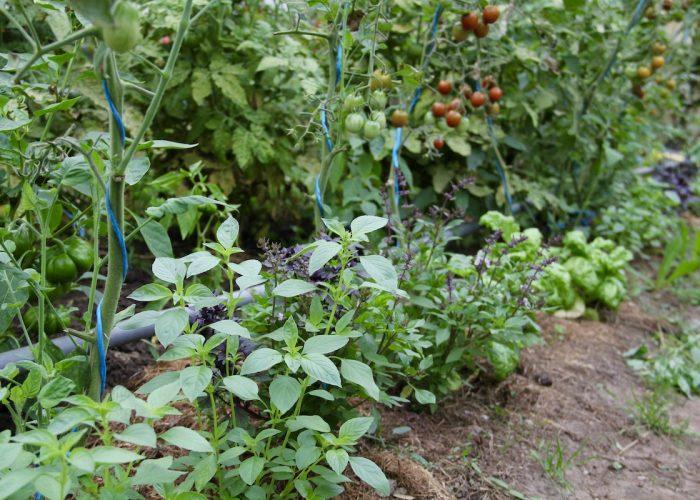 Tomaten und Basilikum im Gewächshaus