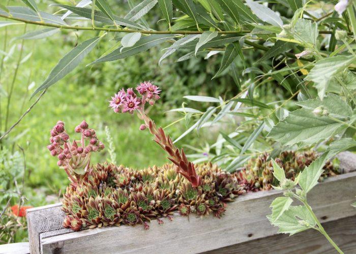 Blühendes Sempervivum im Palettenbeet
