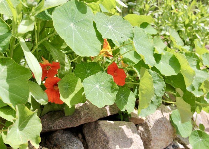 blühenden Kapuzinerkresse