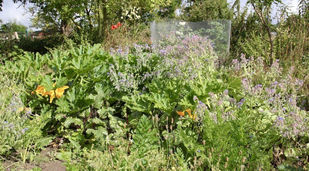 Zucchini, Rote Bete und Borretsch in Mischkultur