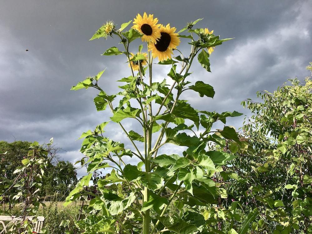 Vielköpfige Sonnenblume vor dramatischem Himmel