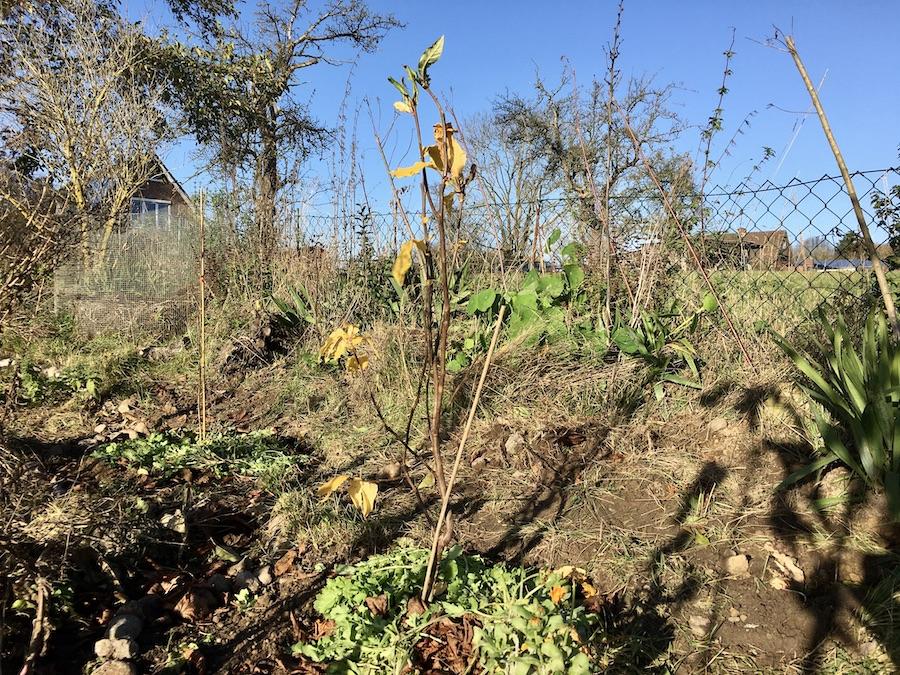 Holländische Mispel frisch gepflanzt