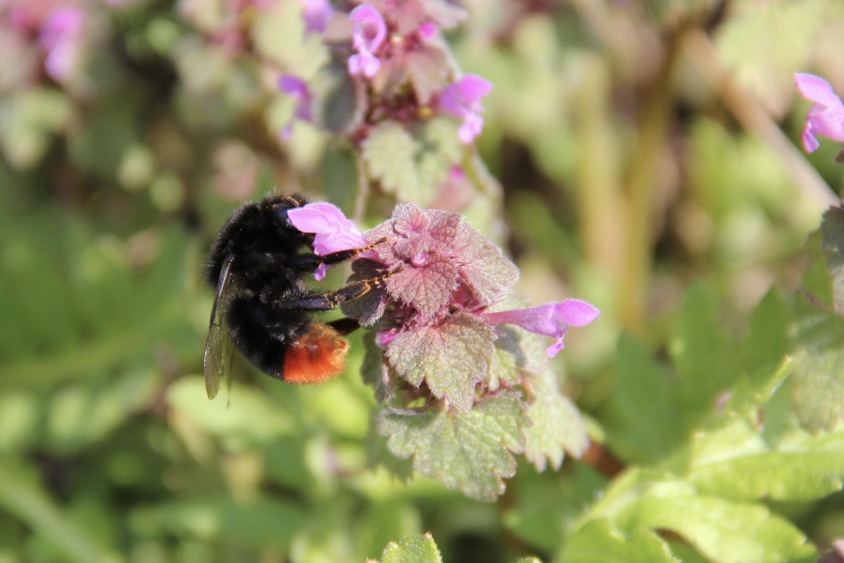 Taubnesseln bieten Pollen und Nektar